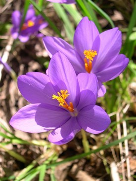 Photo:Crocus nudiflorus (the Autumn Crocus) at Holme Pierrepont, Nottinghamshire